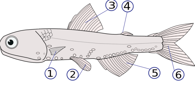 Fish Fin Diagram