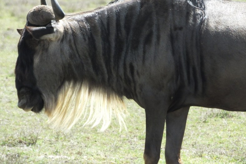 White-bearded gnu, wildebeest