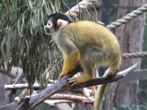 Bolivian Squirrel Monkey