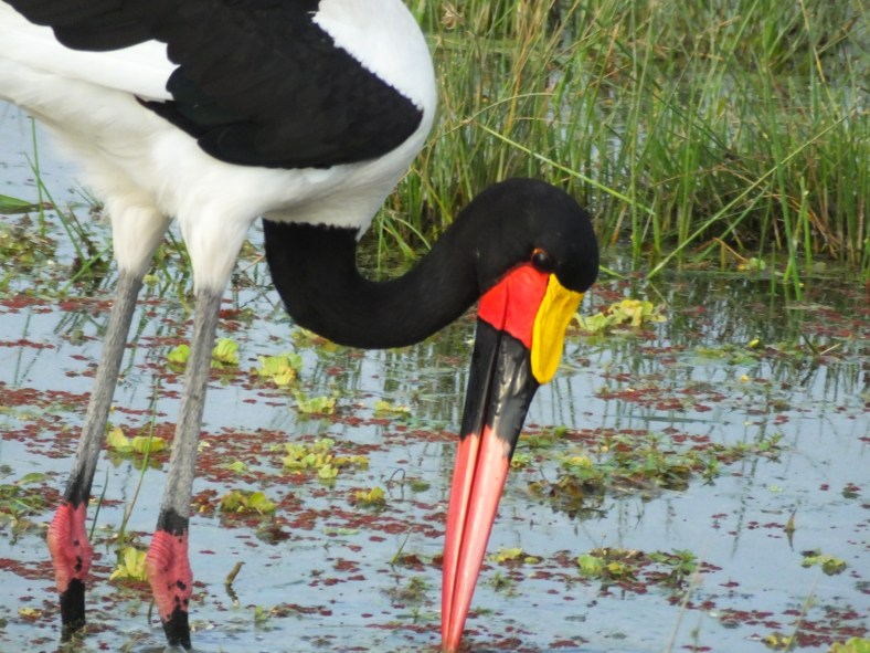 Saddel-billed Stork