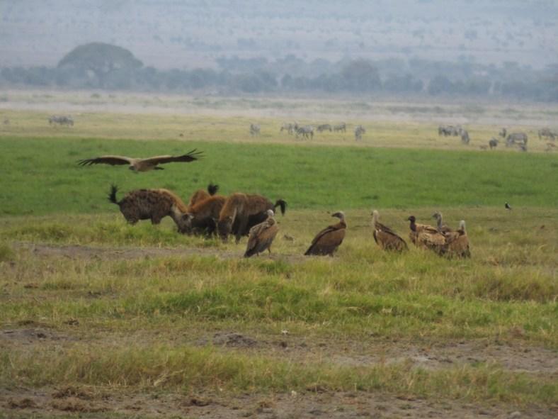 vulture, hyena