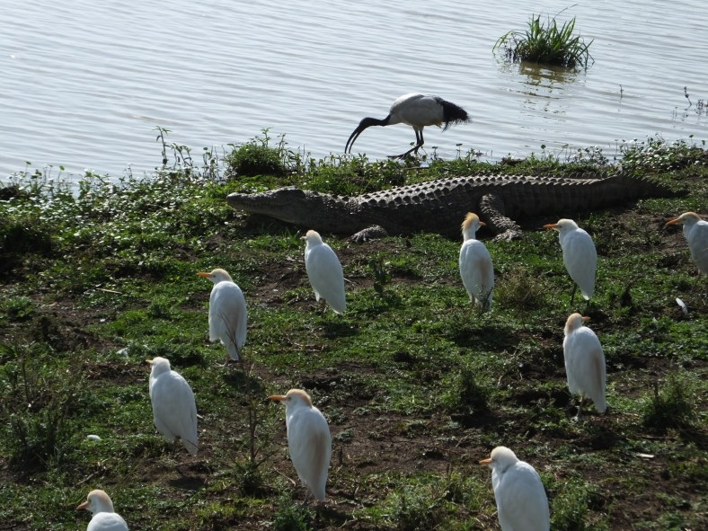 Cattle Egret, crocodile, sacred ibis
