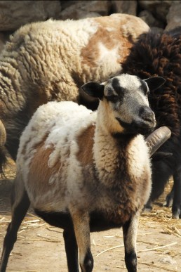 Study: sheep and facial recognition