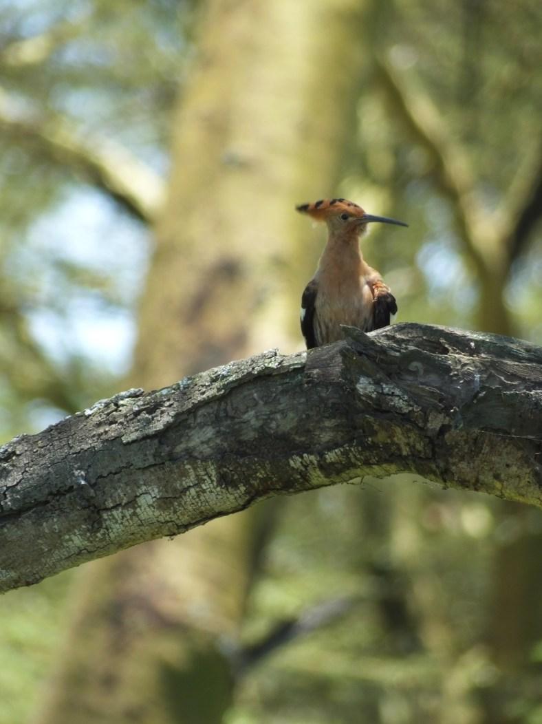 Crested Hoopoe