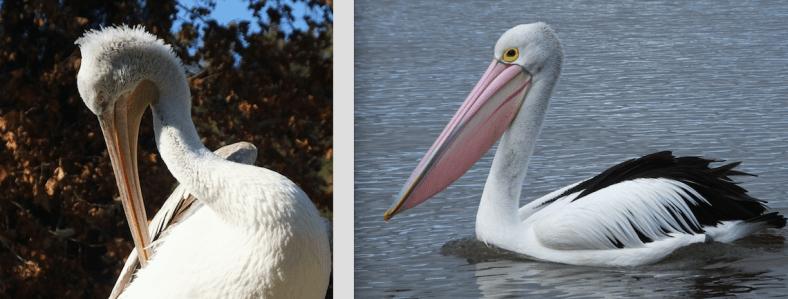 Dalmatian and Australian Pelican