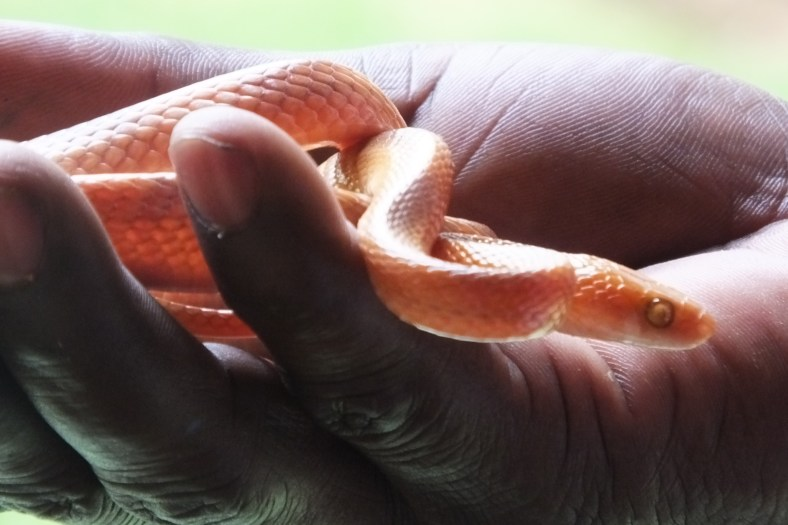 African Tiger Snake
