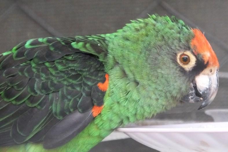 Jardine's Parrot