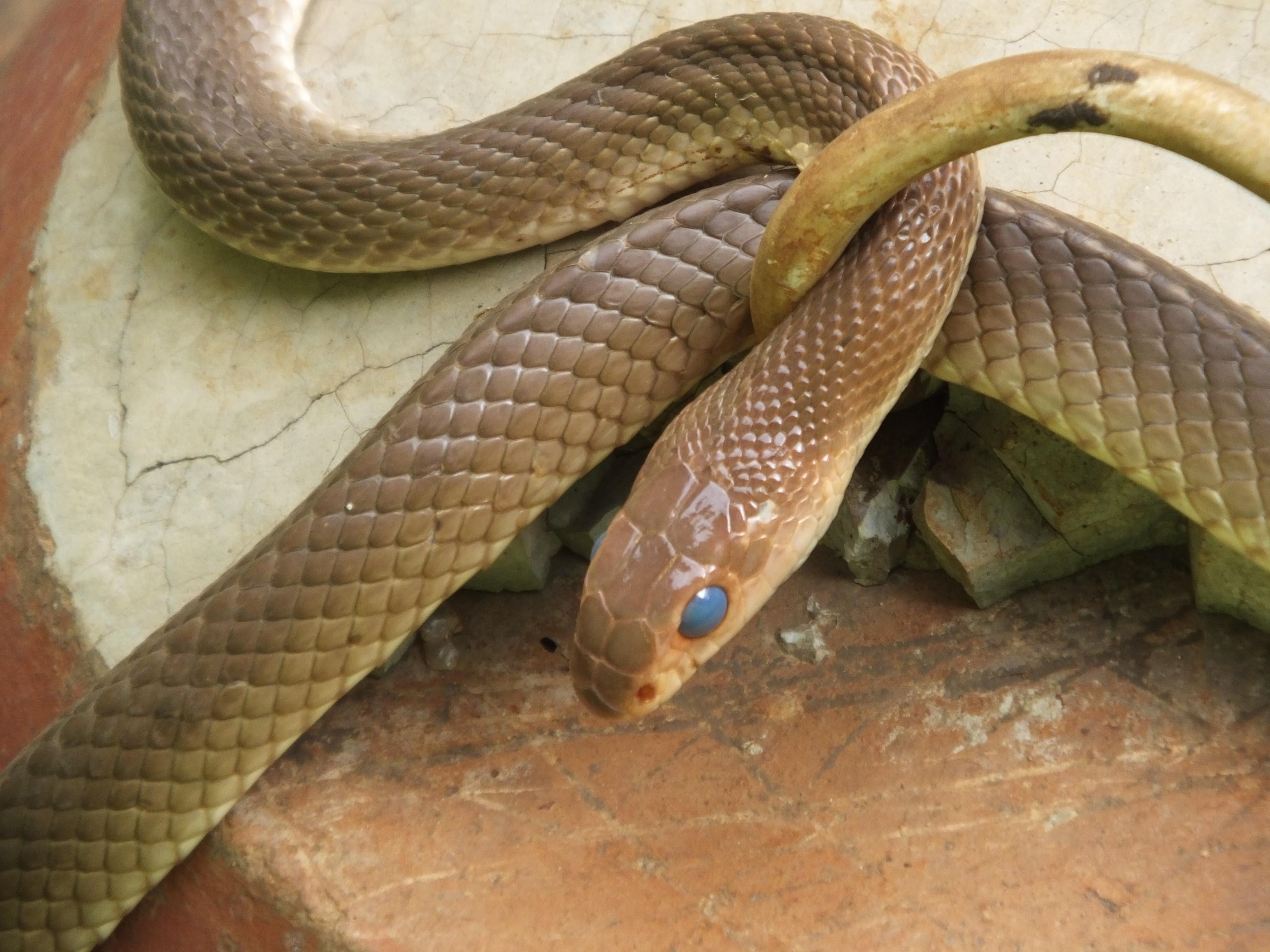Speckled Sand Snake