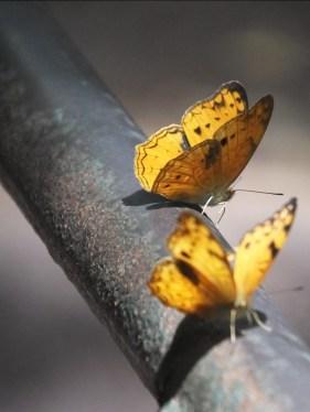 African Leopard Fritillary Butterfly