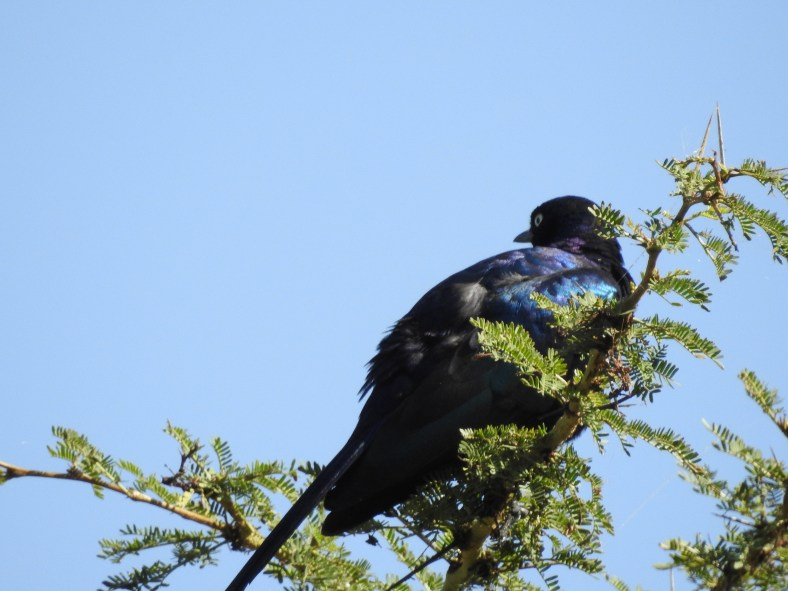 Ruppell's Long-Tailed Starling