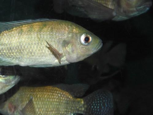 Nile Tilapia