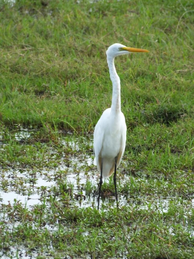 African Great Egret
