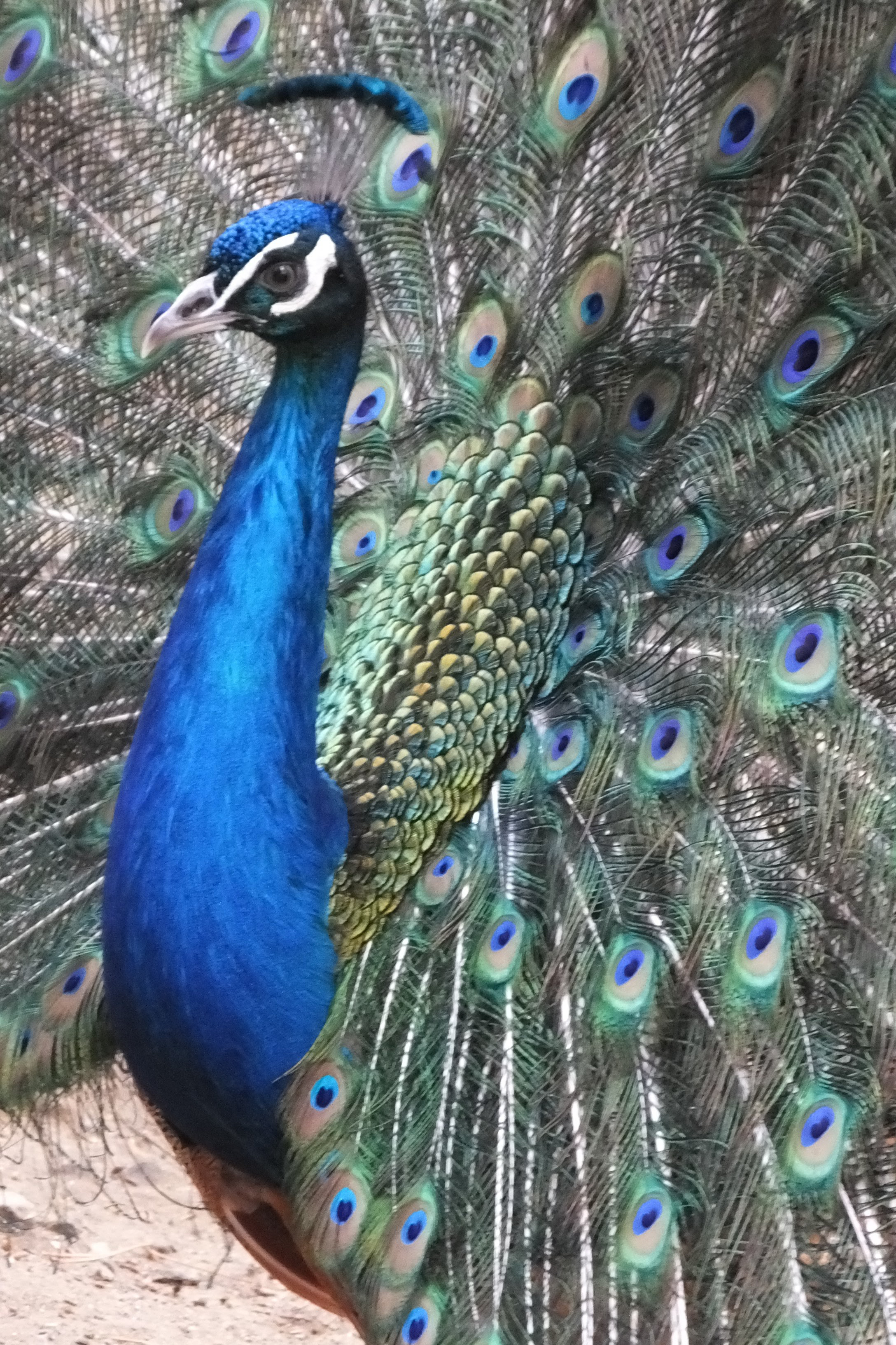 Indian Peafowl