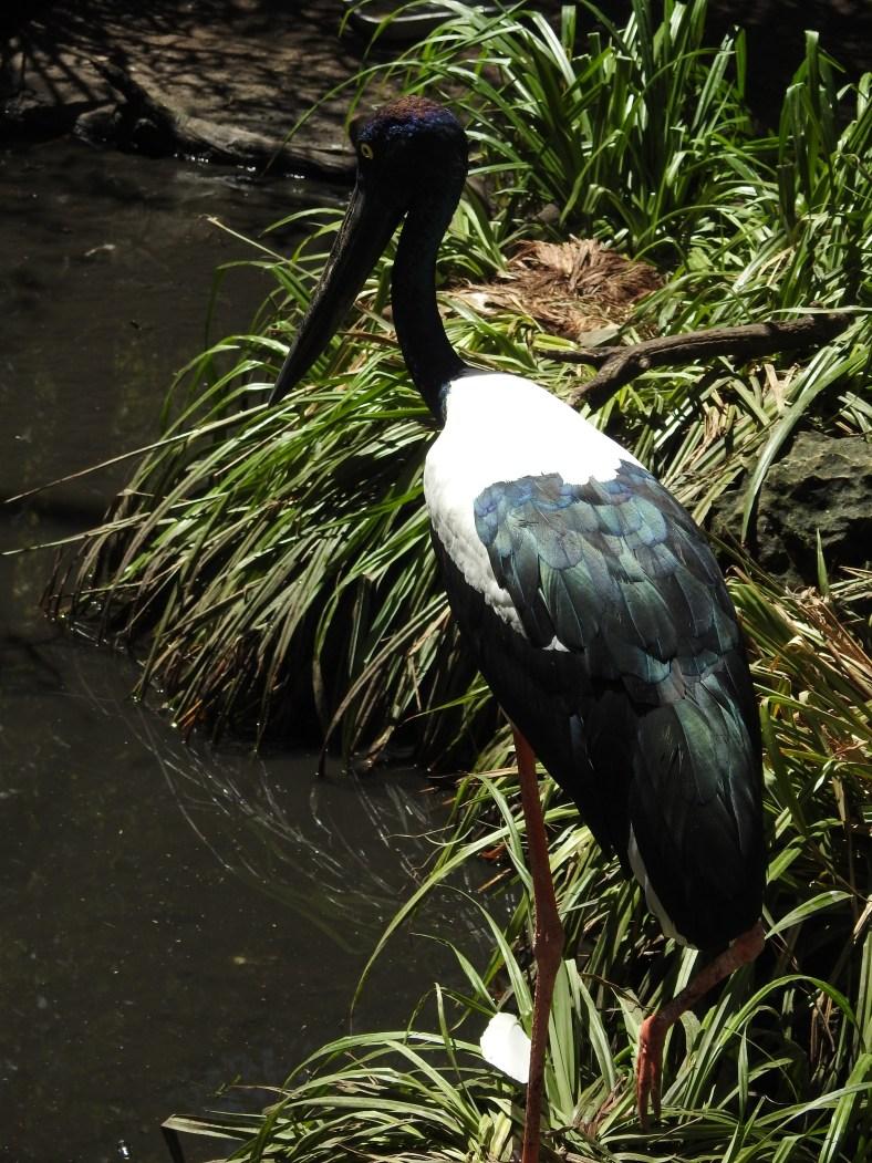 Australian Black-Necked Stork