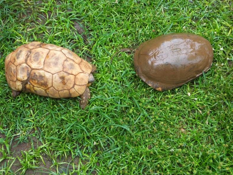 Bell's Hinge-Back Tortoise