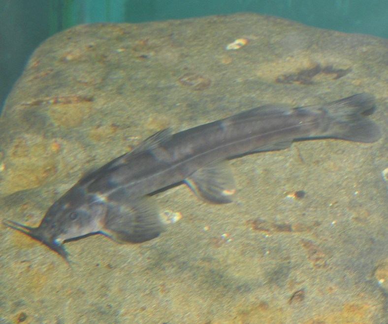 Stargazer Mountain Catfish