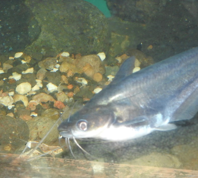 Silver Butter Catfish