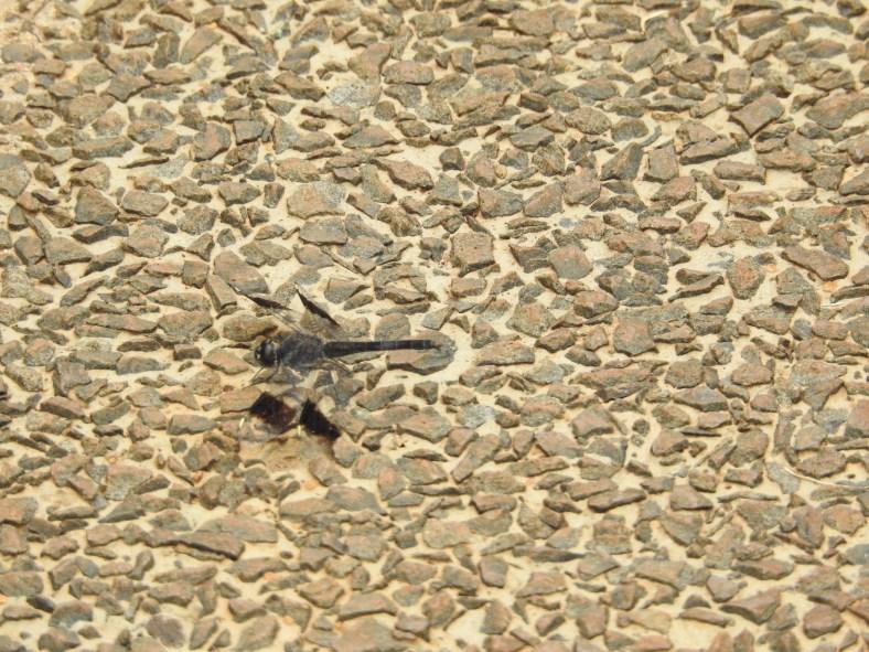 Banded Groundling Dragonfly