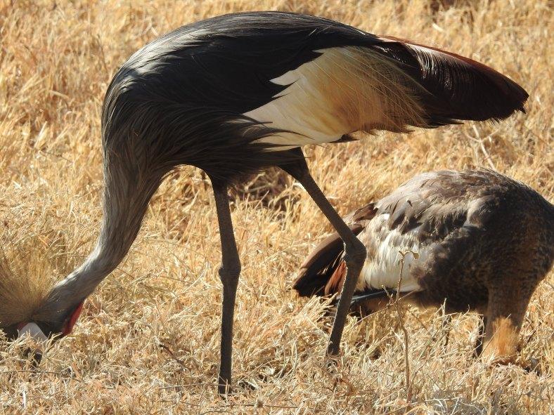 Black Crowned Crane
