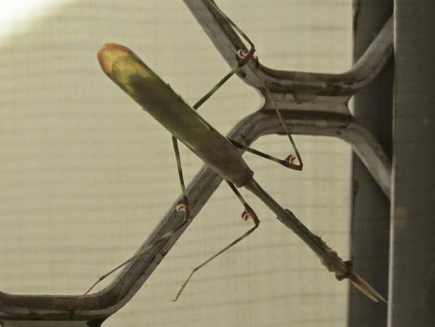 European Leaf Mantid