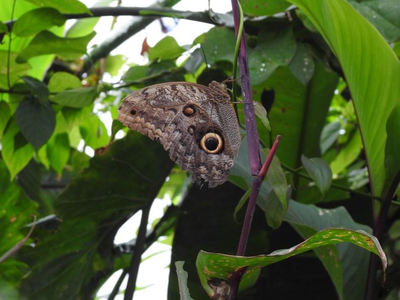 Idomeneus Owl Butterfly