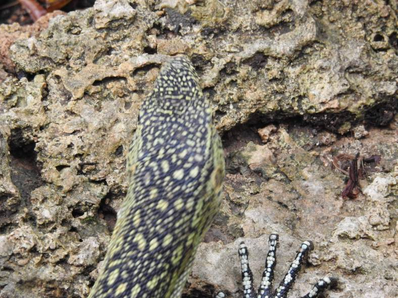 Gould's Monitor Lizard