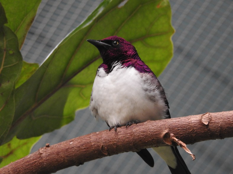 Violet-Backed Starling