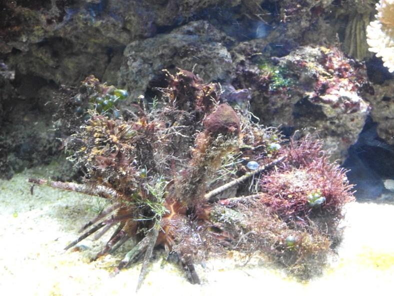 Slate-Pencil Sea Urchin