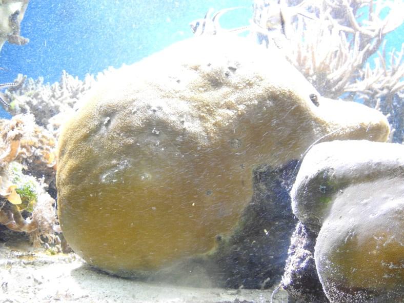 Brown Boulder Coral