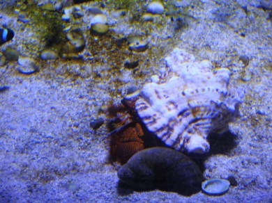 Common Marine Hermit Crab