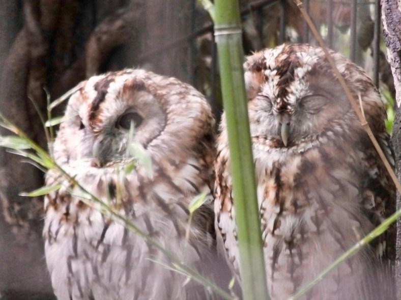 Caucasus Tawny Owl