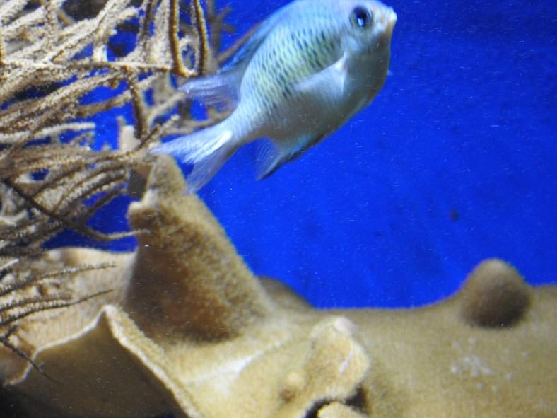 Staghorn Damselfish