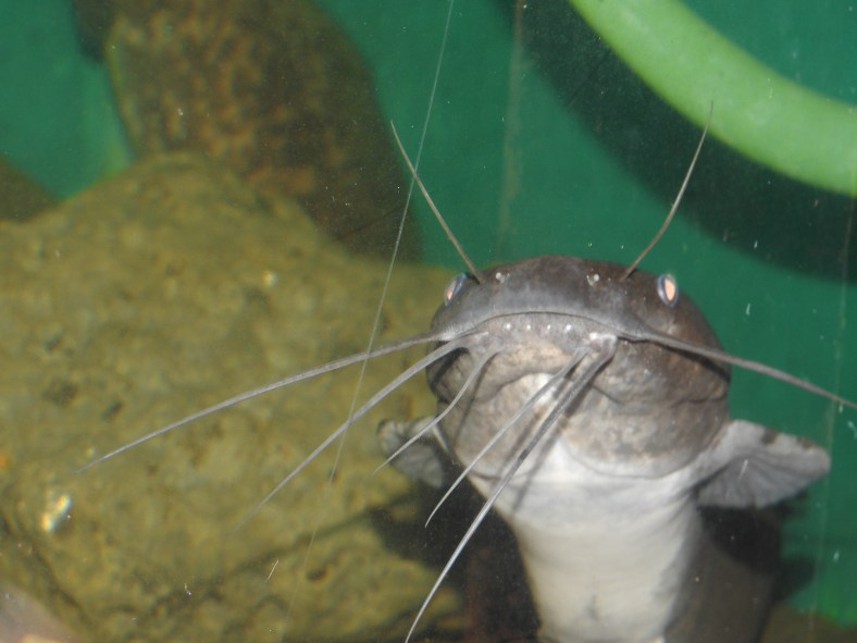 North Africa Catfish