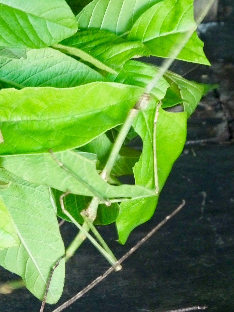 Vietnamese Stick Insect