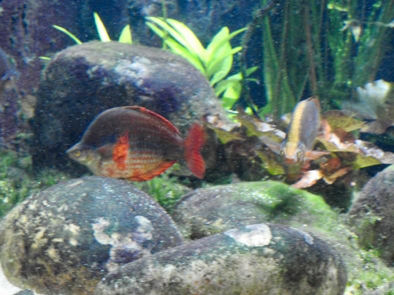 Regal Rainbowfish