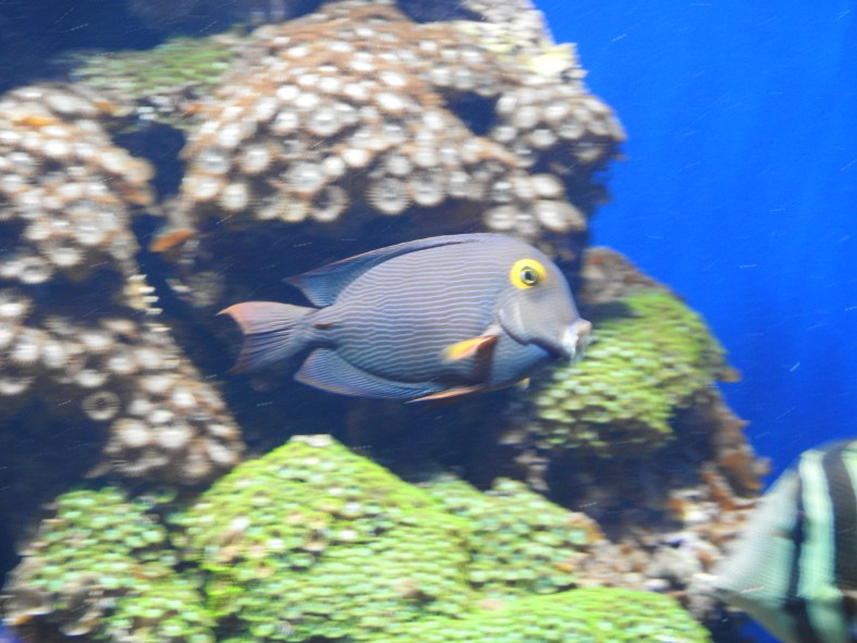 Spotted Surgeonfish