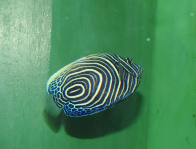 Korean Angelfish
