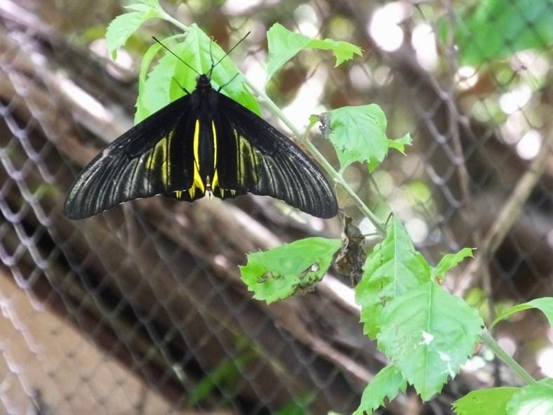 Common Birdwing Butterfly (female)