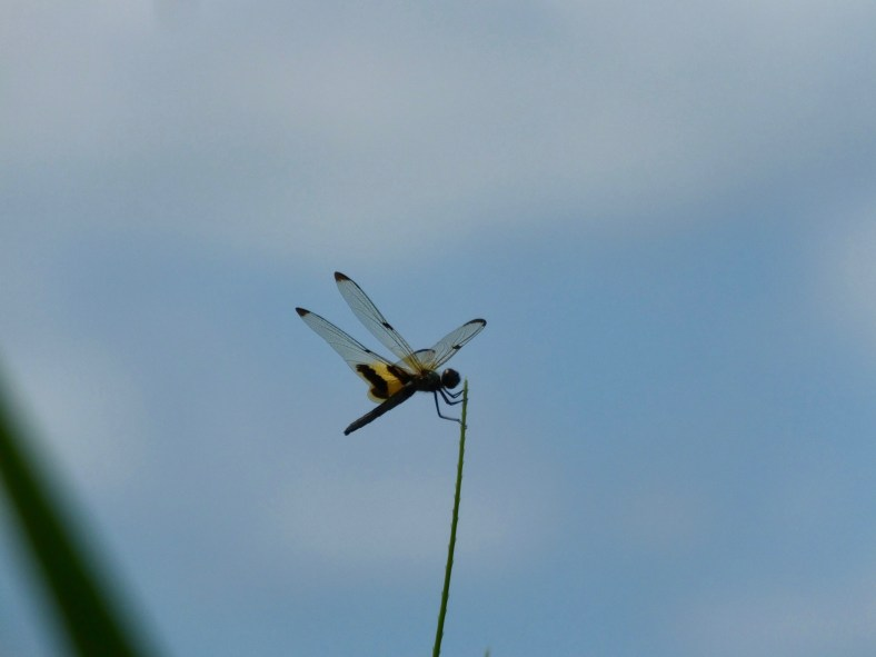 Common Picture Wing Dragonfly or Variagated Flutterer (female)
