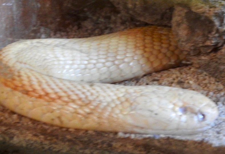 Monocled Cobra (Albino)