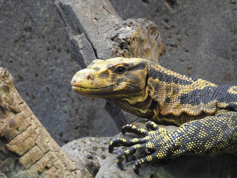 Mindanao Water Monitor Lizard