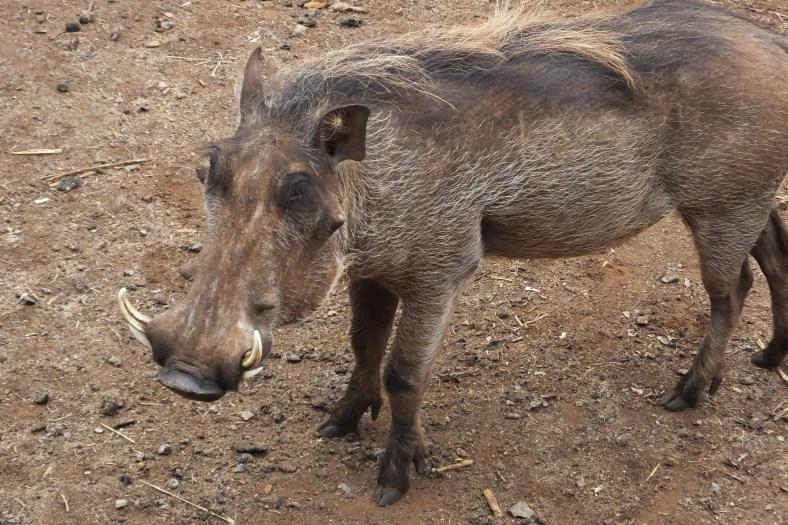 Central African Warthog