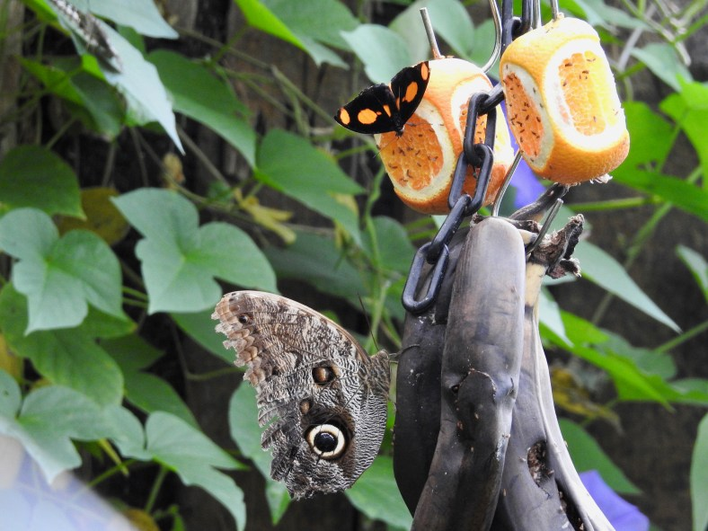 Owl Butterfly and Grecian Shoemaker Butterfly