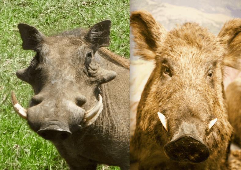 Warthog and Boar