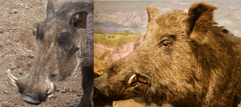 Warthog and Wild Boar