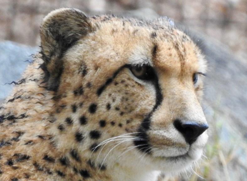 Cheetah – Version 2