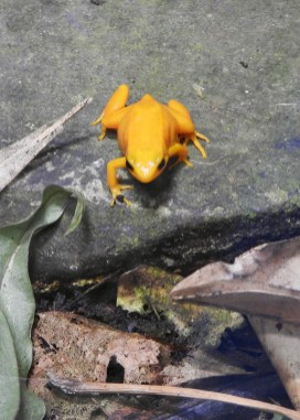 GOLDEN MANTELLA