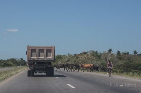 on pile sur l'autoroute pour laisser passer les vaches