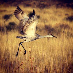 Sandhill crane at Bosque del Apache, New Mexico.
