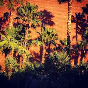 Palm trees and brick on the University of Arizona campus.